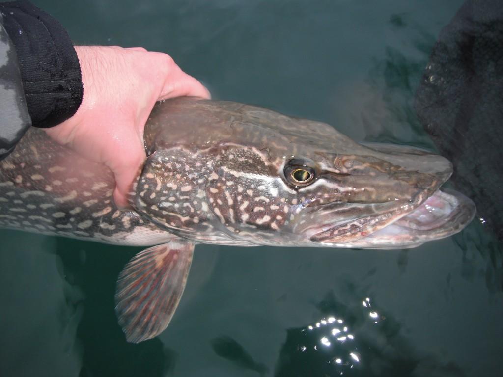 DSCF8031 1024x768 Some fall time fishing