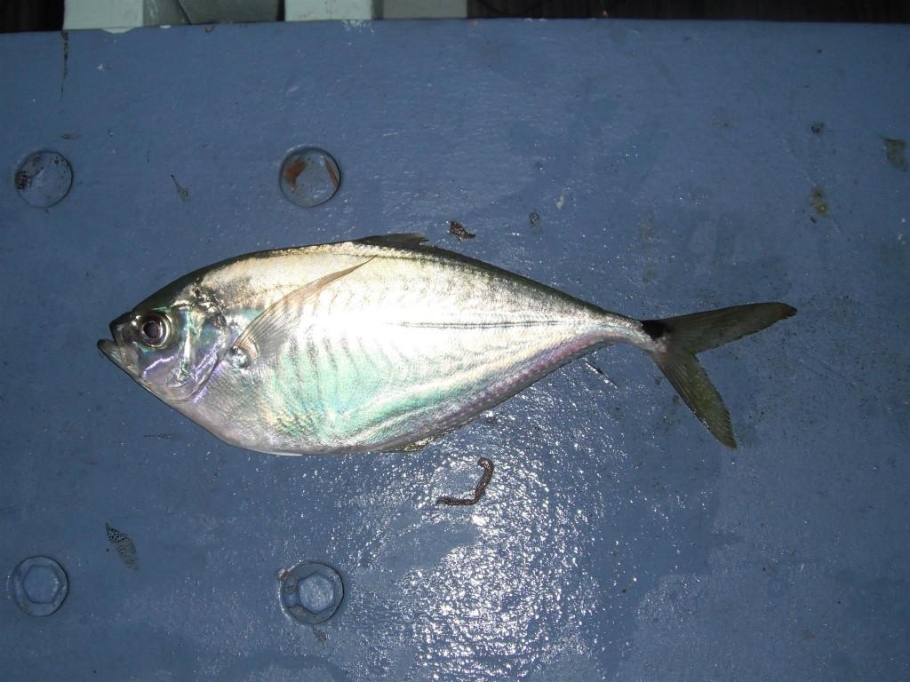 DSCF8339 1024x768 Florida, Trailer Park Boys, and Parrotfish