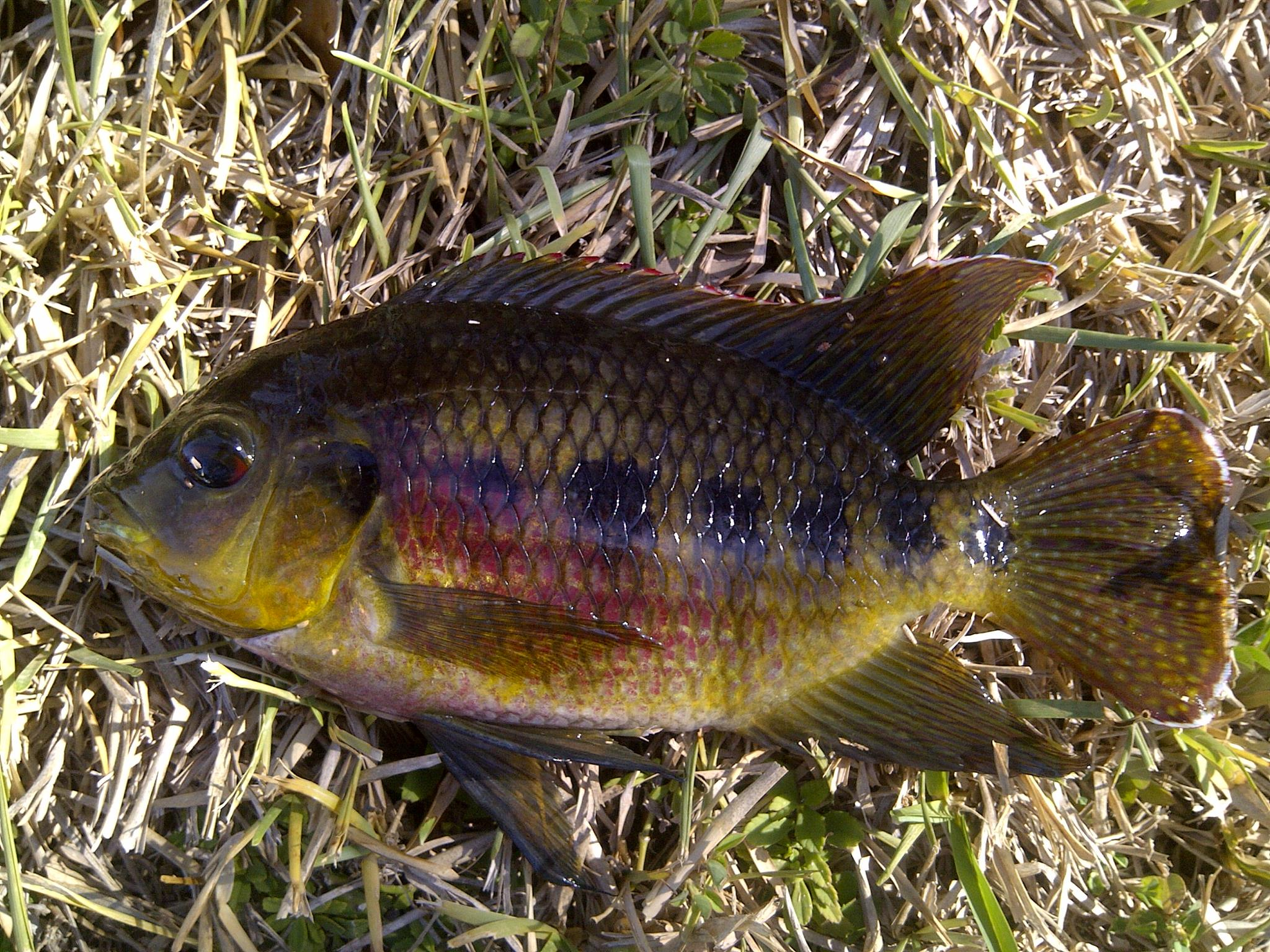 how to catch tilapia in florida